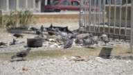 Pigeons pecking breadcrumbs In the Turkish part of Nicosia video