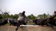 Pigeons Slow Motion video