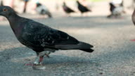 Pigeons Stroll in the Park Area video