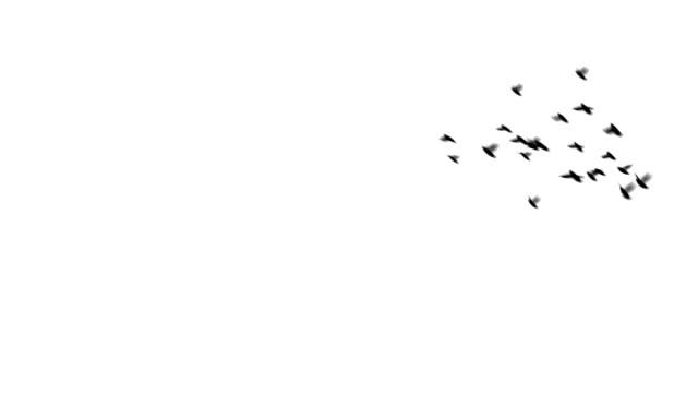 Pigeons Swoop video