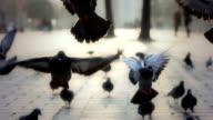 HD :Pigeons video