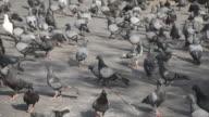 Pigeons video