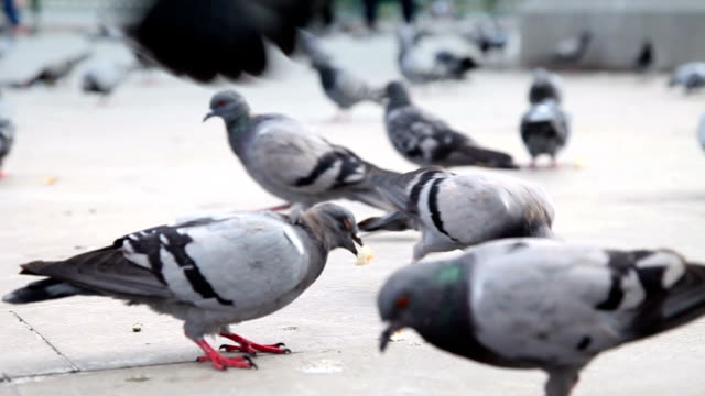 DOLLY: Pigeons video