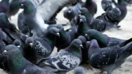 Pigeons waiting for feed at street video