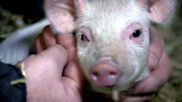 Piggy looking into the camera while being caressed video