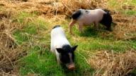Piggy video