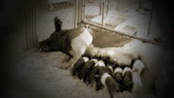 Piglets feed from mother in vignette and sepia effect video