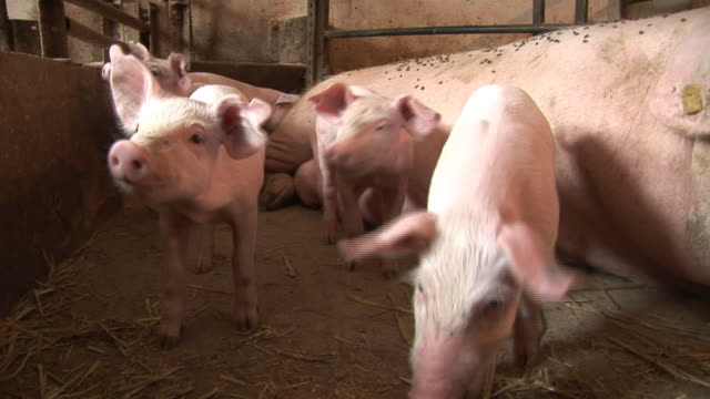Piglets in a Farm video