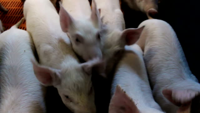 Piglets on modern farms video