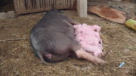 Piglets suckling from sow's teats video