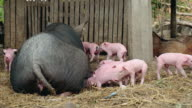Piglets trying to grasp teats from teats of a sow lying down on the ground video
