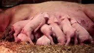 Piglets... video