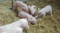 Piglets video