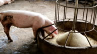 Pigs eating feed in the farm agriculture. video