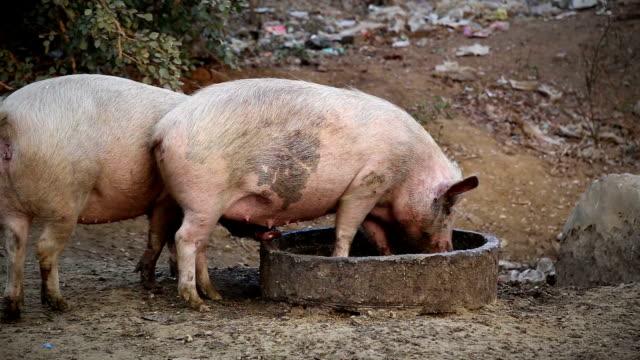 Pigs Eating Food Outdoor video