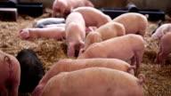Pigs in a Pigpen... video