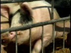 Pigs on the farm video