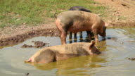 Pigs playing in the mud video