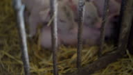 Pigs resting on the straw in a cage in FullHD video