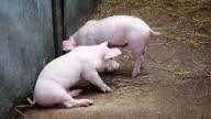 Pigs... video