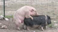 Pigs xxx - HD 1080/30f video