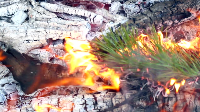 Pine branch burn in campfire. Closeup. Branch of evergreen tree burns in fire video