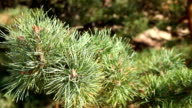 Pine branch sways in the wind video