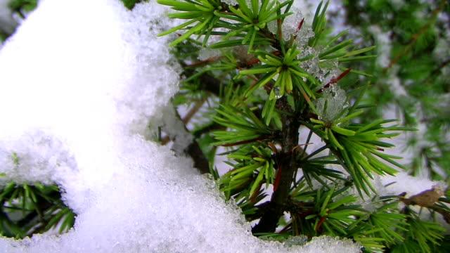 pine branch video