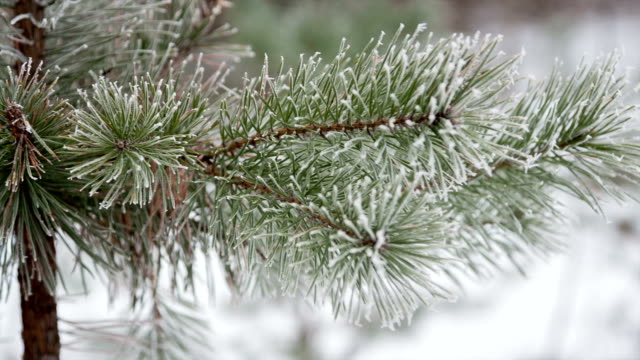 Pine branches in the frost day video
