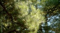 Pine branches swaying in the wind video