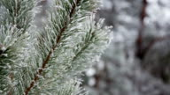 Pine branches with hoarfrost video