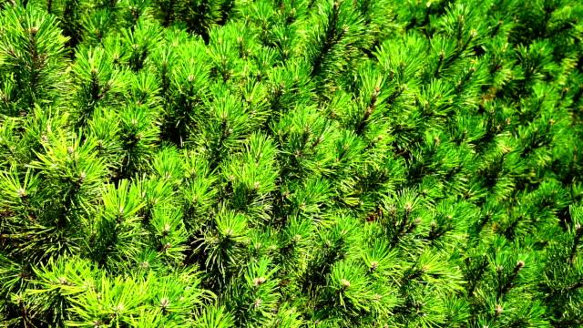 Pine close up video
