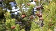 Pine Cones in the Breeze video