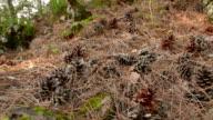 Pine cones, needles in woodland video