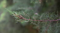 Pine flower video