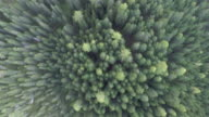 Pine forest. Aerial view video