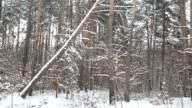 Pine forest during a snowfall. video