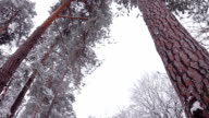 Pine forest in the snow. video
