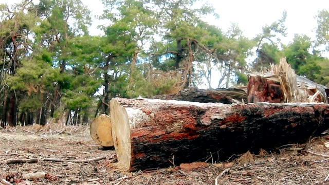 pine forest landscape video