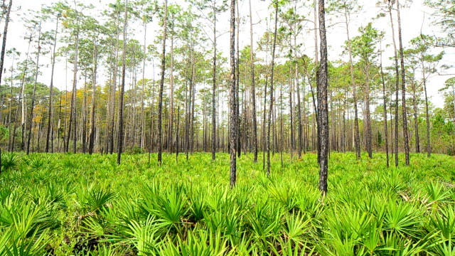 Pine forest panning shot from just above saw palmetto understory video