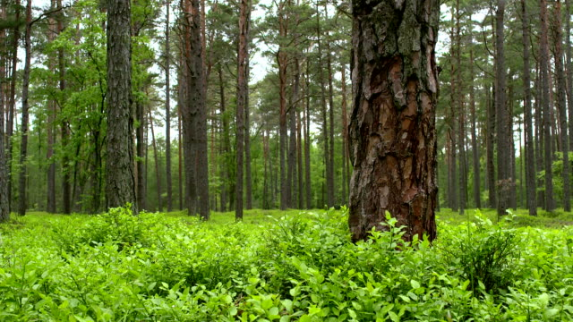 Pine forest video