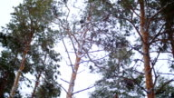 Pine forest. Winter day. video