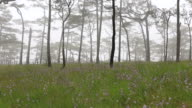 Pine forest with mist and wildflowers field video