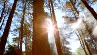 Pine forest with sunlight and fog video