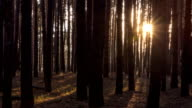 Pine forest with the last of the sun shining through the trees timelapse video