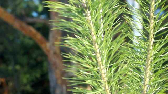 Pine needles in summer. Closeup. Pine tree branch in sunlight. Evergreen tree video
