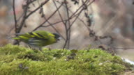 Pine Siskin and Great Tit video