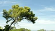 Pine tree and blue sky video