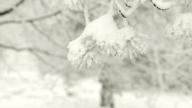 Pine Tree Detail in Snow Storm video