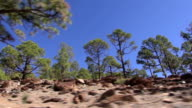 Pine tree forest in Teide, Spain video
